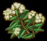 SN-Premium-Botanicals-Cinnamon-Myrtle-hp